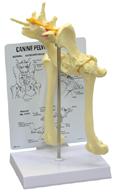 Canine Pelvis (Hip) Model