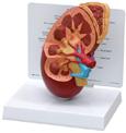 Kidney Model 325