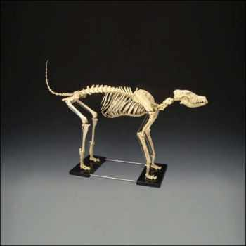 Large Canine Skeleton