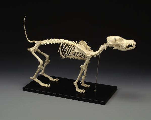 Medium Canine Skeleton